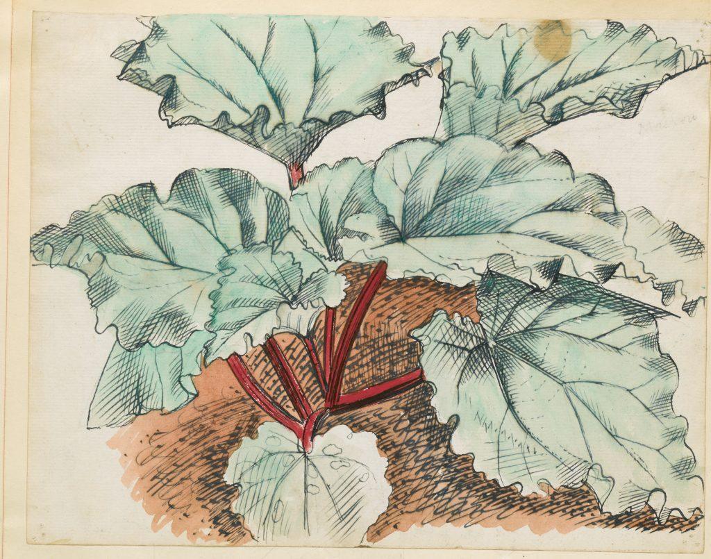 a colour sketchof rhubarb grwoing in a garden