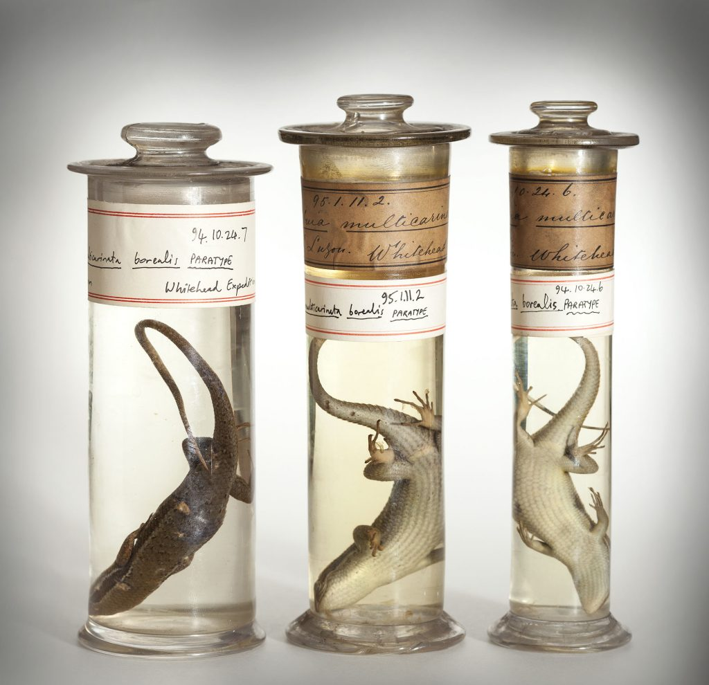 photograph showing three deceased lizards preserved in liquin in glass jars