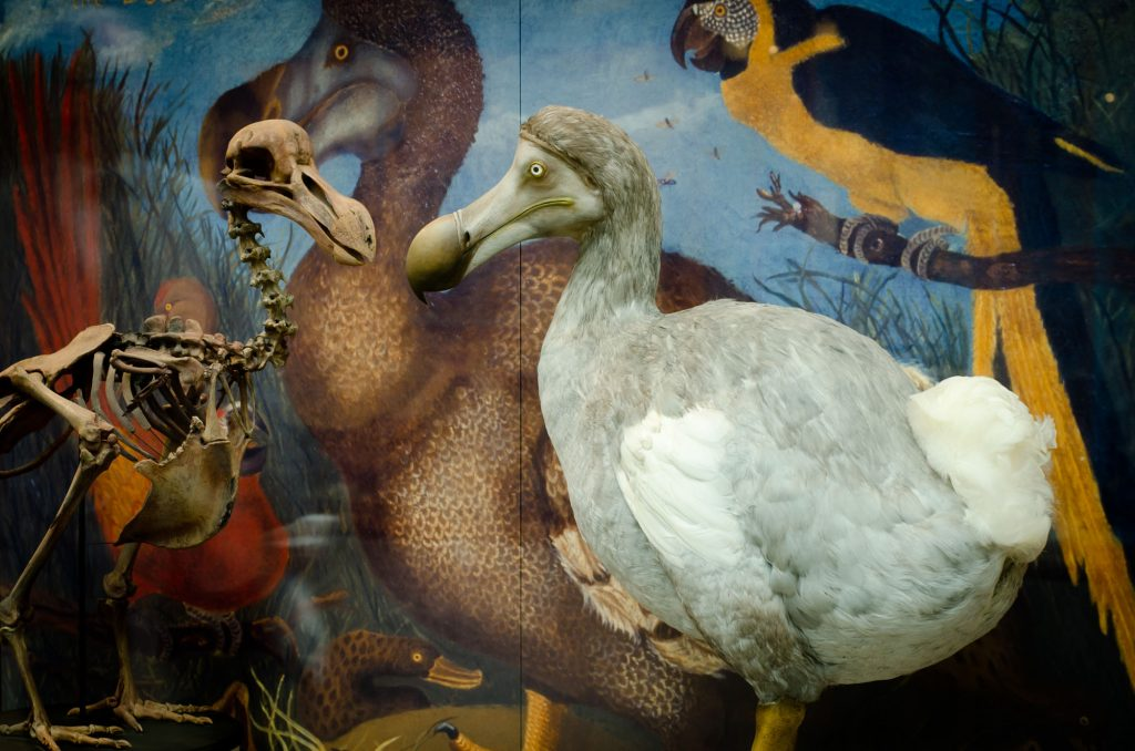 photogrpah of museum exhibit showing models of a dodo and dodo skeleton, and painting of dodo