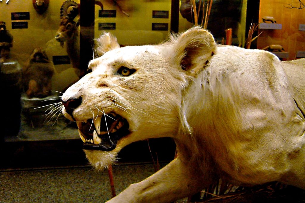 photograph of a taxidermy lioness in a natural history gallery