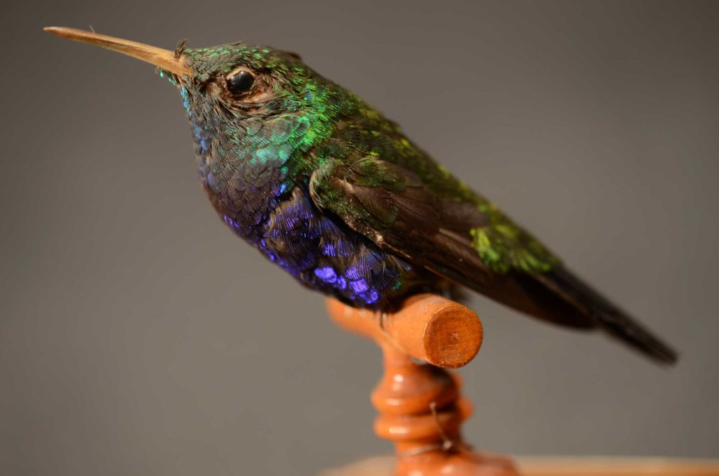 photograph of a taxidermy small colourful bird with long beak on wooden perch