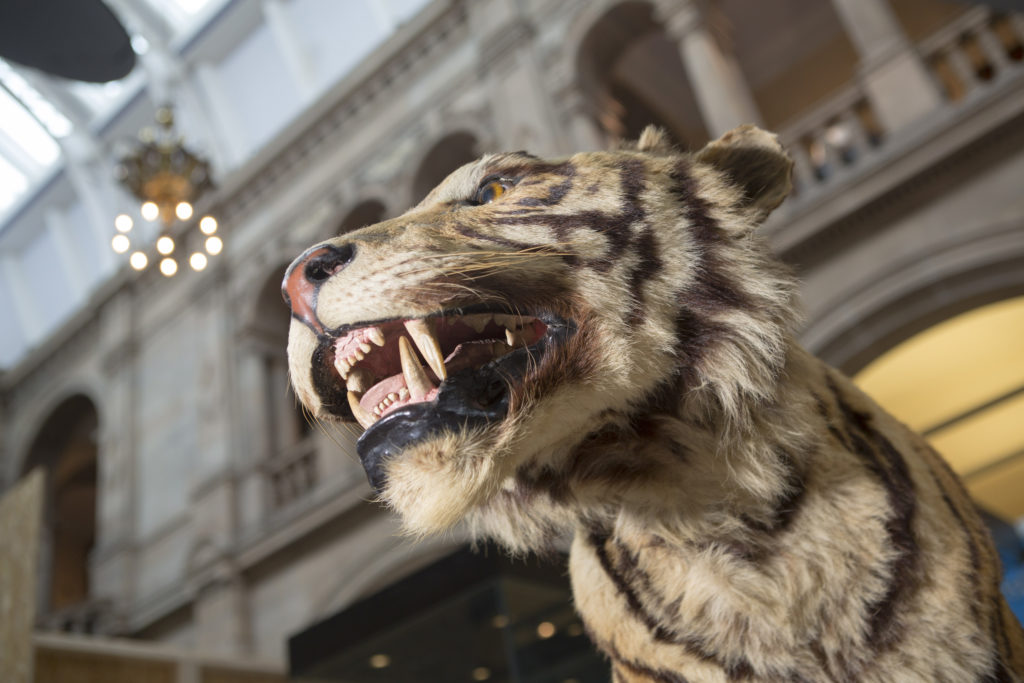 photograph of taxidermy tiger in natural history display at kelvingrove museum