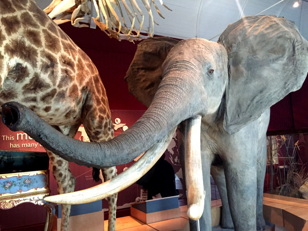 photograph of interior of museum gallery showing taxidermy african elephant
