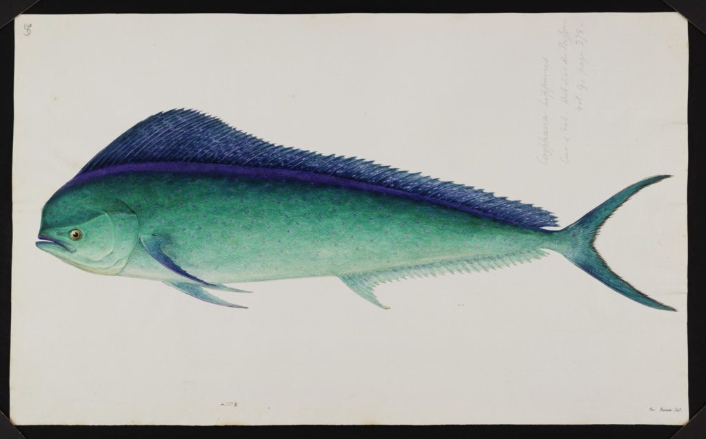 a sketch of a turquoise and blue fish