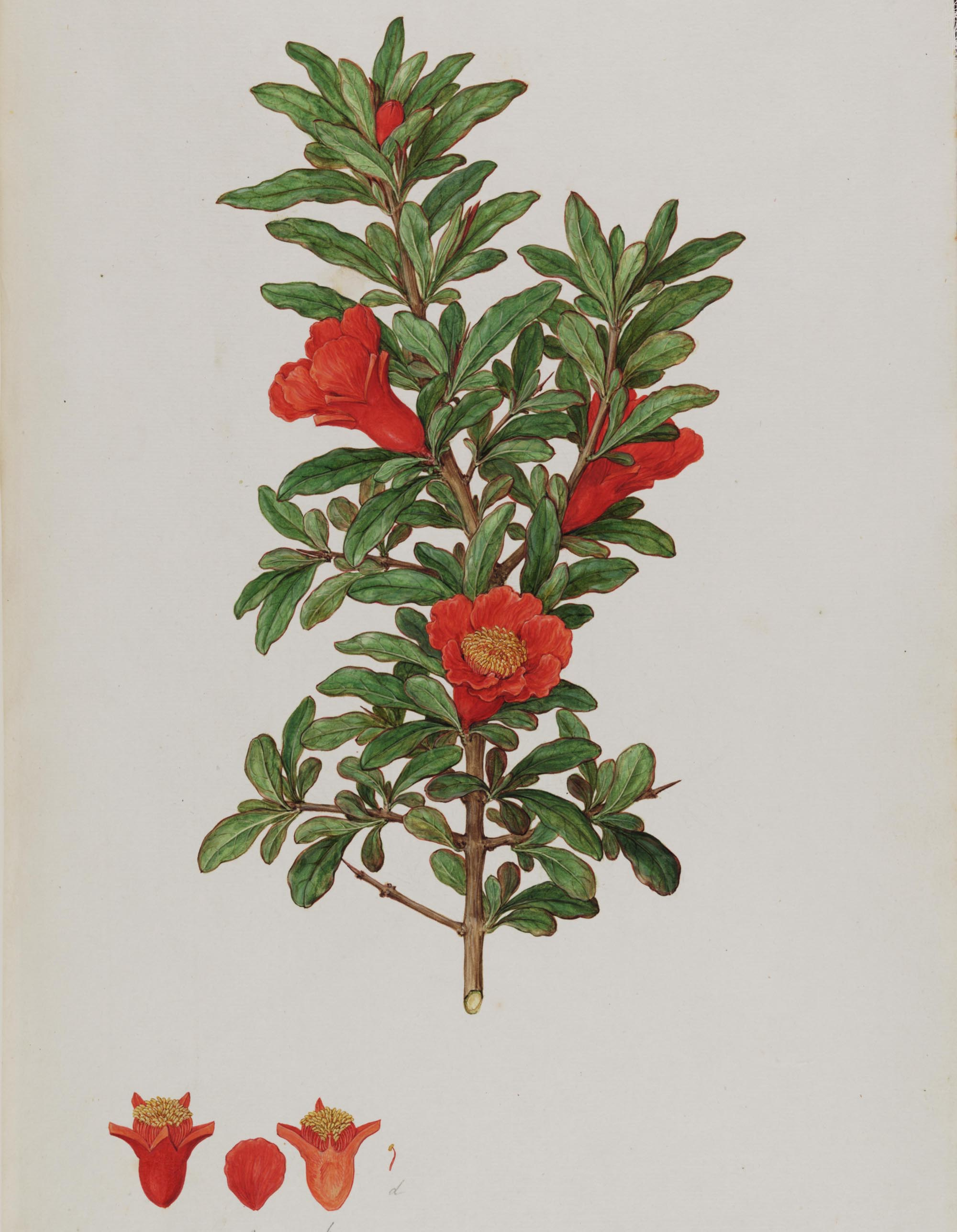 a drawing of a green-leaved plant with red tubular leaves