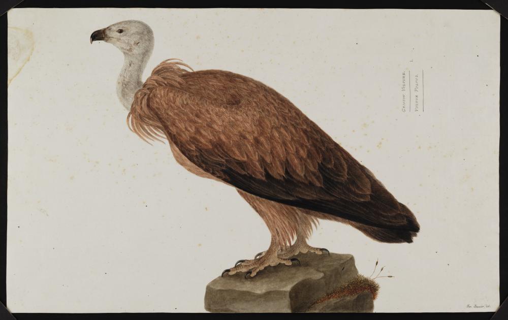 a sketch of a vulture