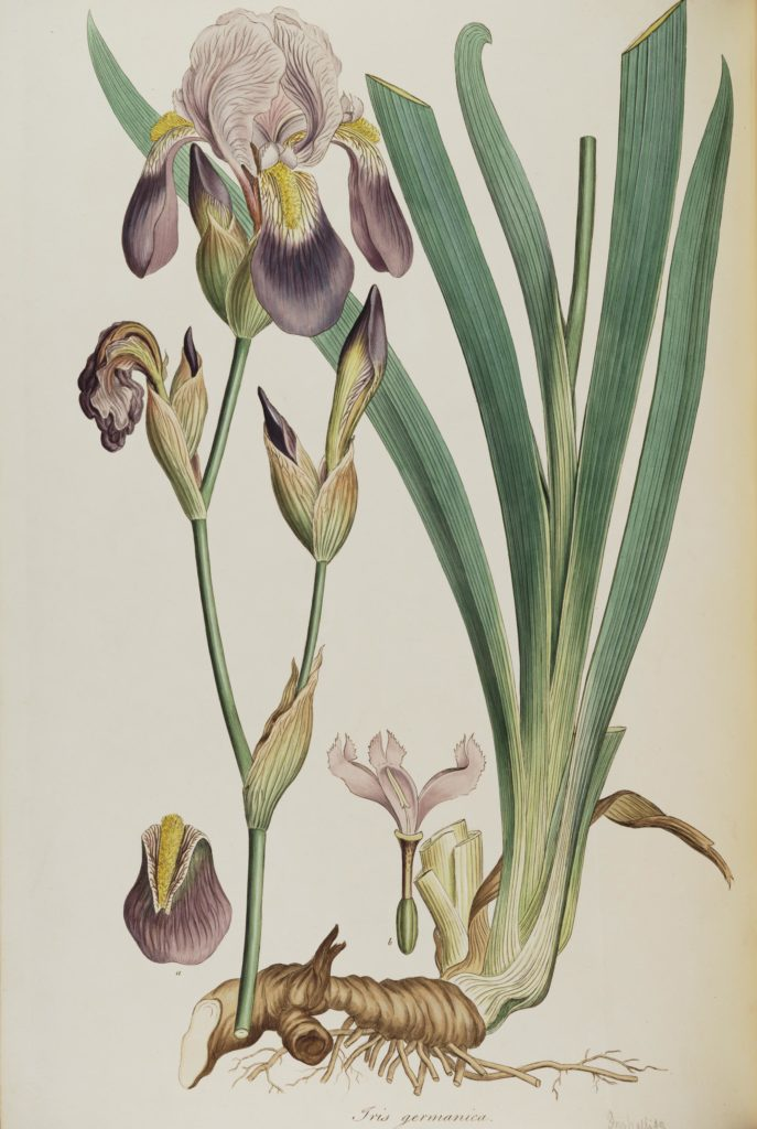 a watercolour of an iris with purple and yellow tinged flowers