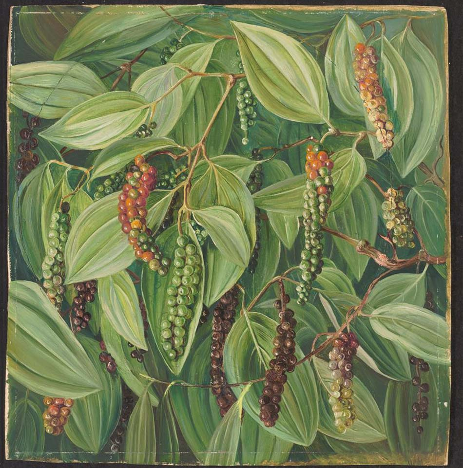 a botanical illustration of a pepper plant with lush green leaves and pepper corns