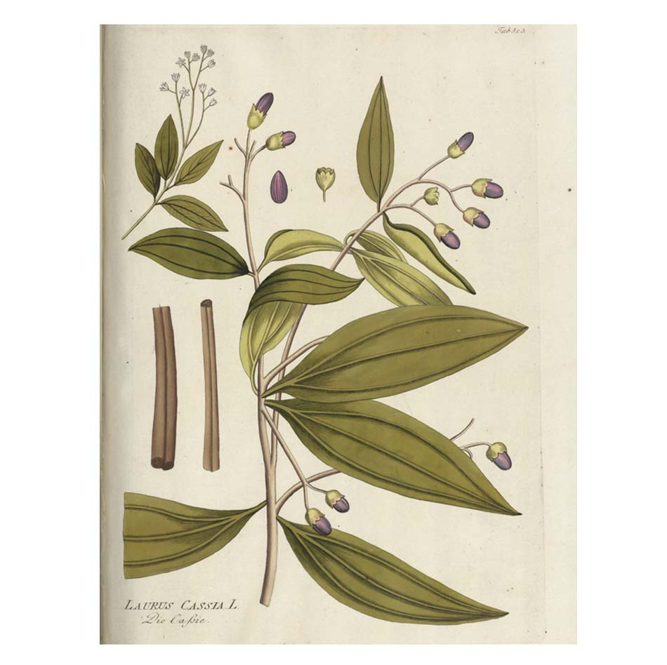 a botanical illustration of a plant with flat long leaves