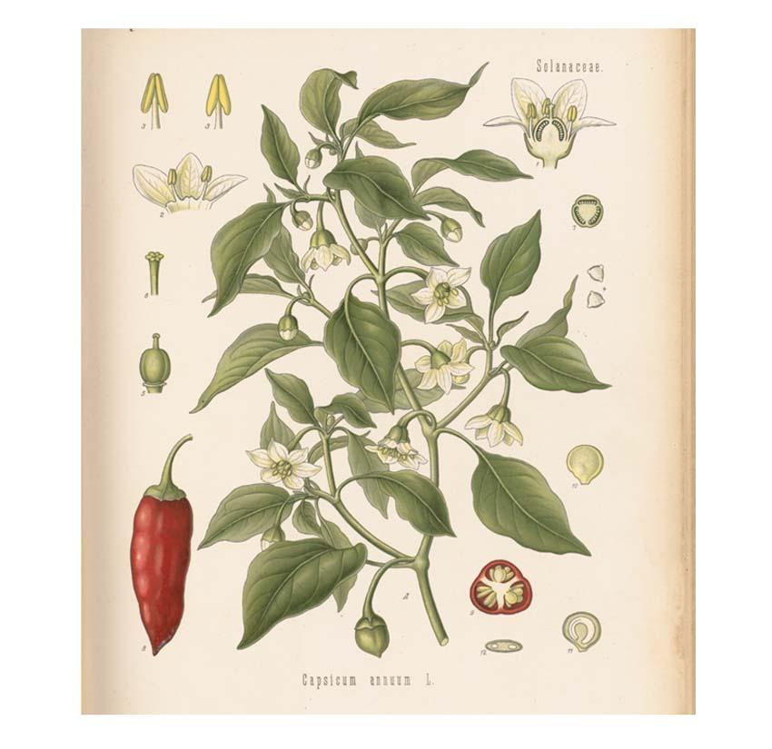 a botanical illustration of a chilli pepper