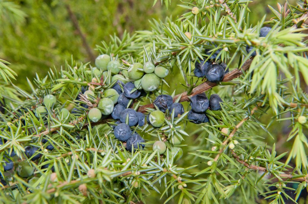 a photo of a juniper bush with berries on it