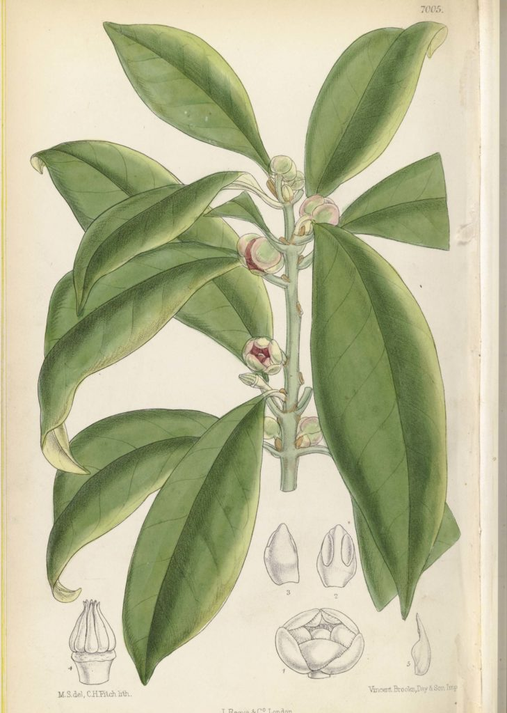 a botanical drawing of a plant with large drooping leaves