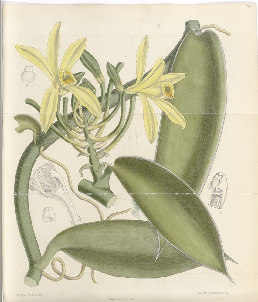 a botanical illustration of an orchid like flower with yellow stamens and green pods