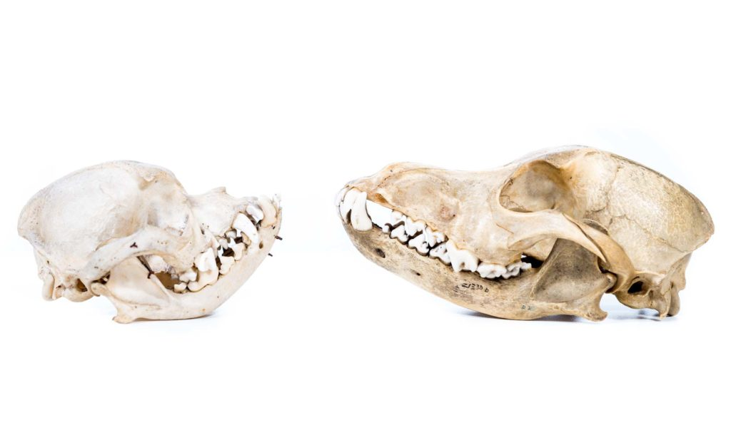 a photo of a pair of skulls seen in side profile