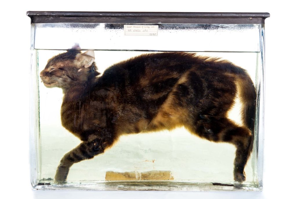 a photo of a cat preserved in a case with fluid