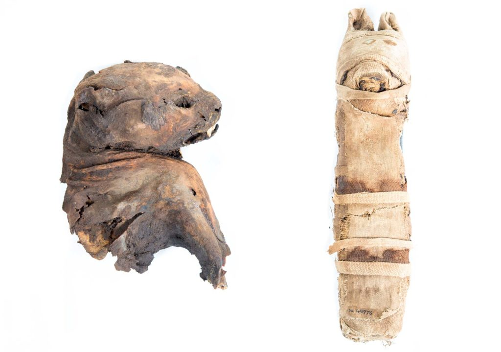 a photo of two Egyptian cat mummies seen side-by-side