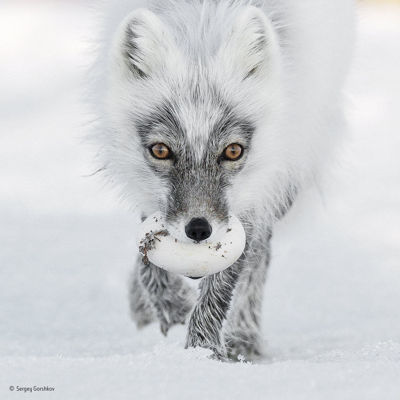 Photo of an Arctic fox with an egg