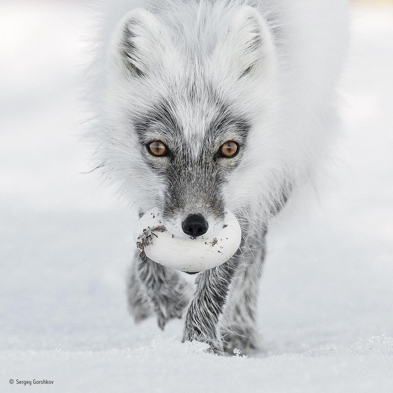 Photo of an Arctic fox with an egg