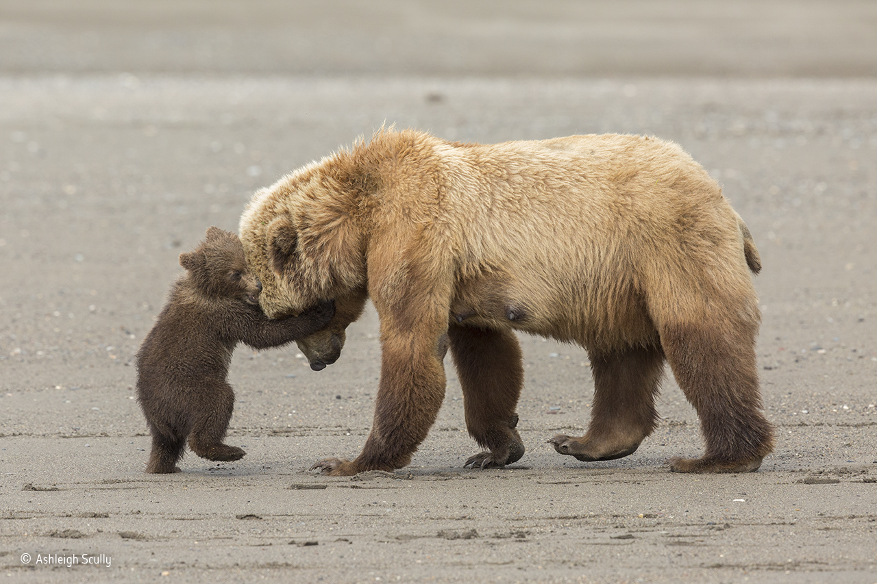 a photo of a mother bear playing with her pup