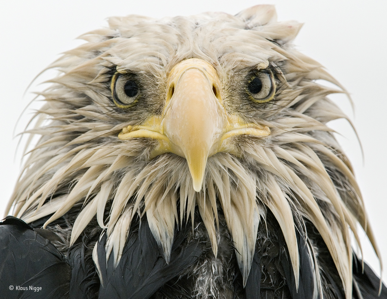 a photo of a bald eagle as it stares into the camera