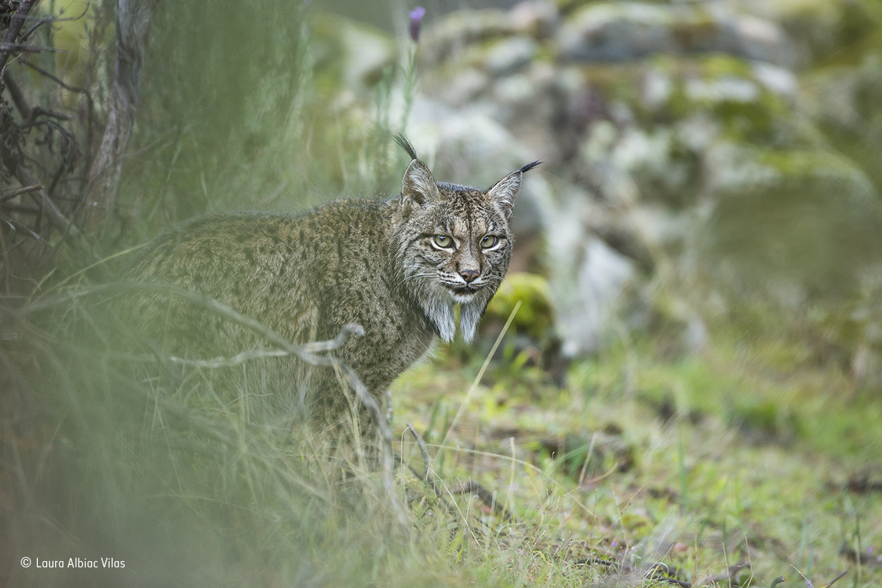 a photo of a small wildcat