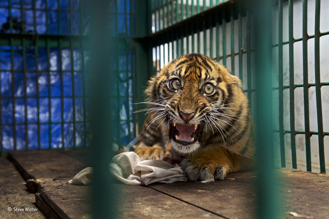 a photo of a small tiger in a cage
