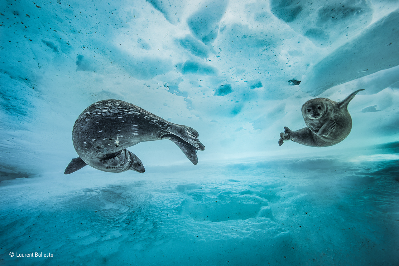 a photo of two seals swimming beneath the ice