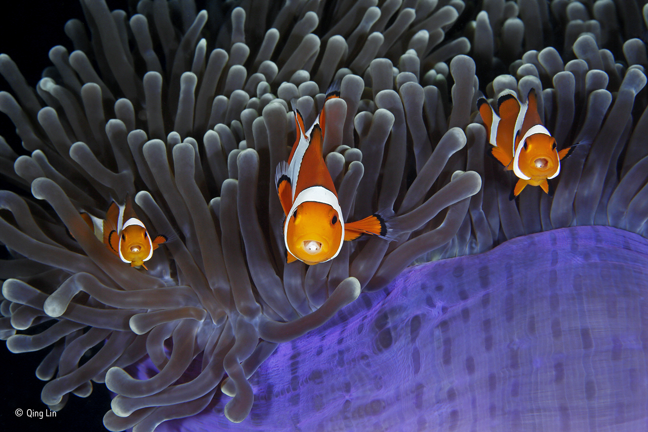 a photo of three clownfish swimming across the top of an aenomie
