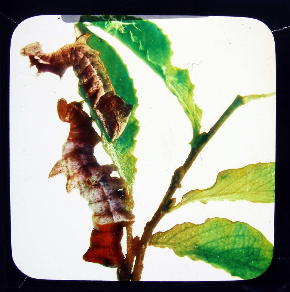 a photo of two brown caterpillars on a stem creeping and leaf munching excercise