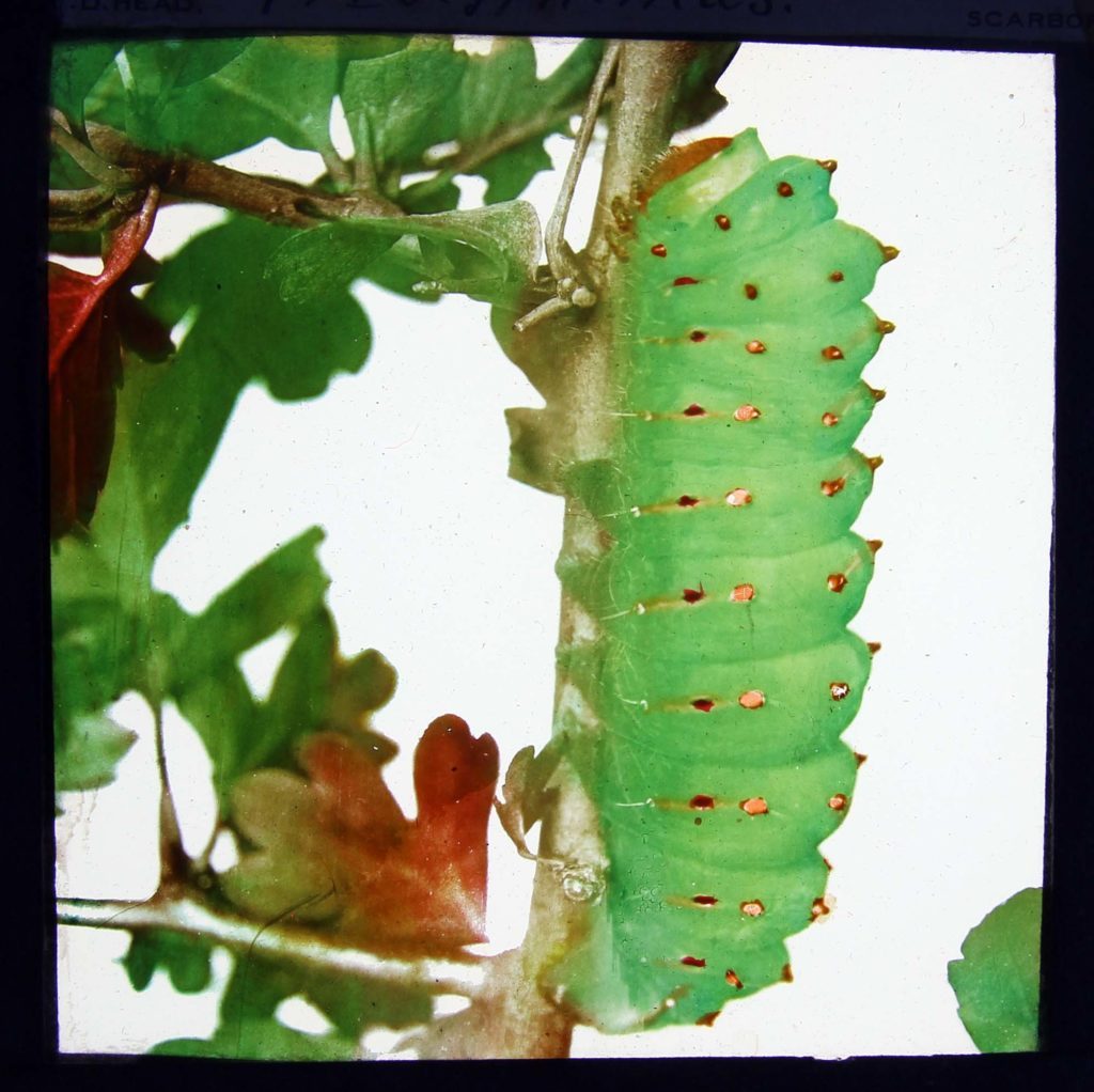 a photo of a big fat caterpillar clinging to a stem