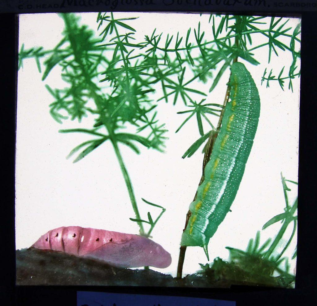 a photo of a green caterpillar making its way along a stem