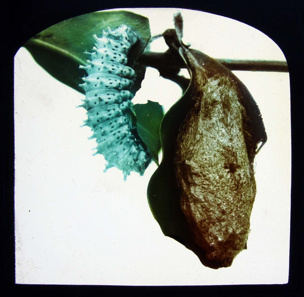 a photo of a caterpillar on a leaf next to a chrysalis