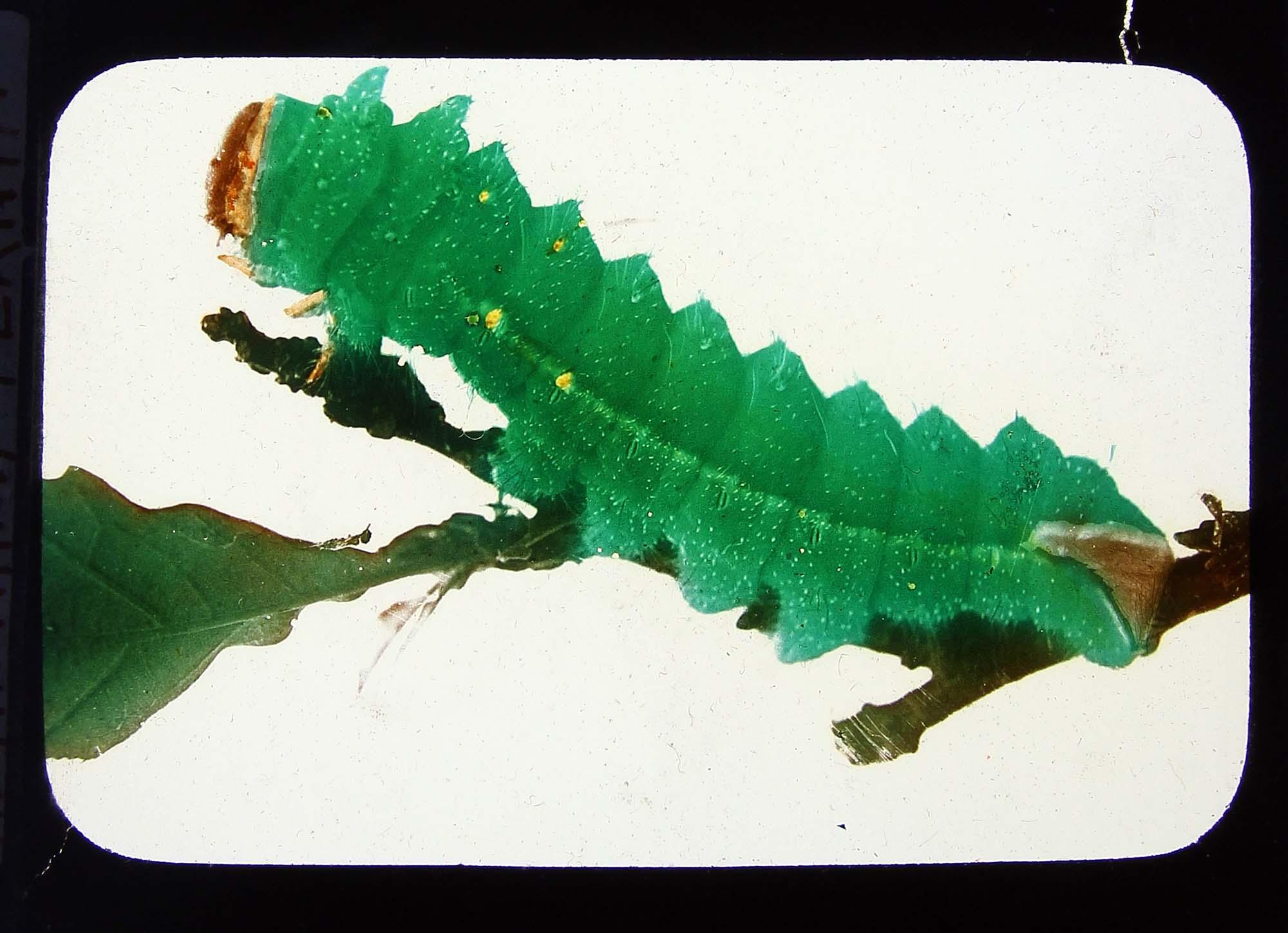A photo of a big green caterpillar