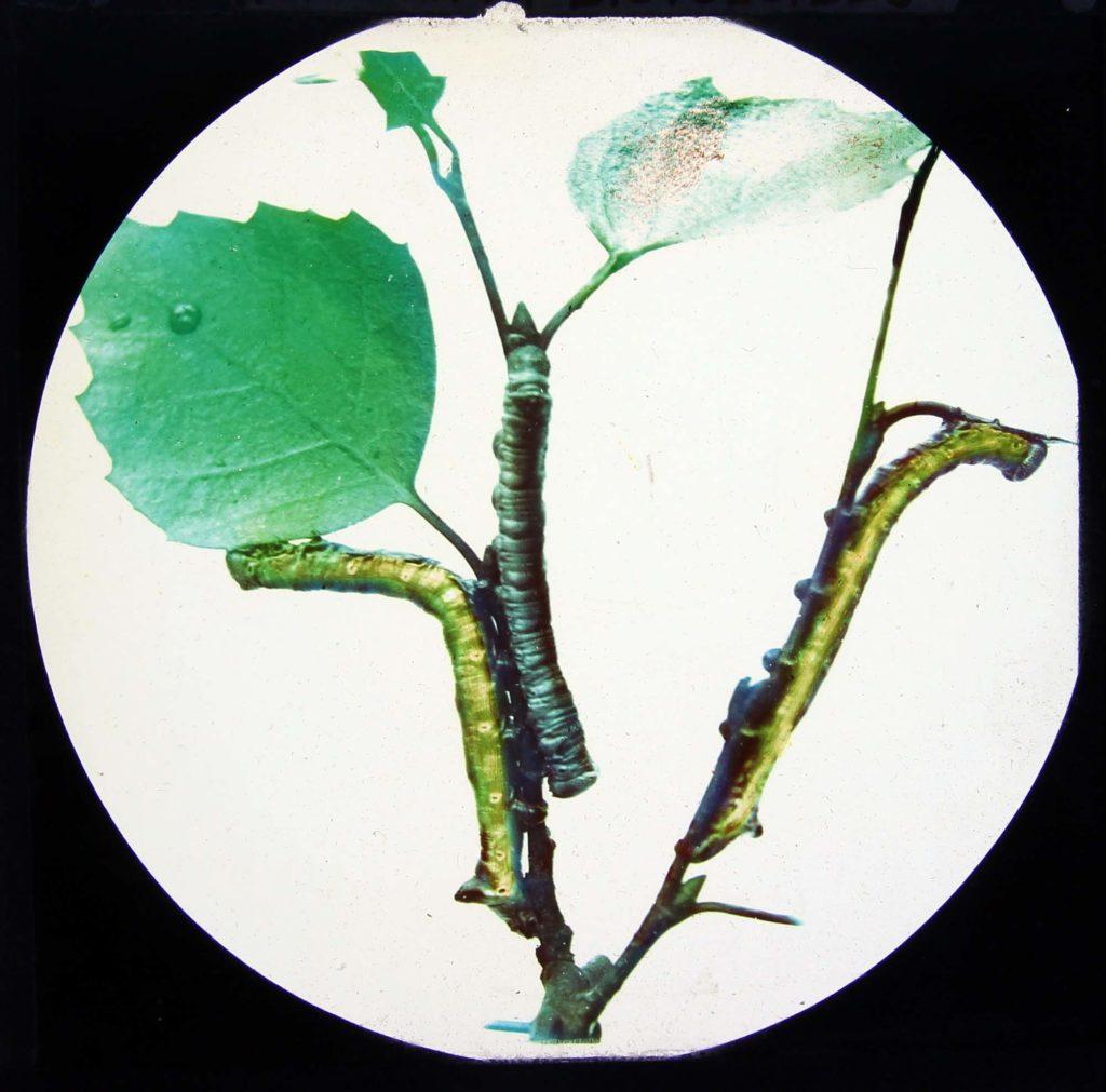 a photo of a green caterpillar climbing up a stem