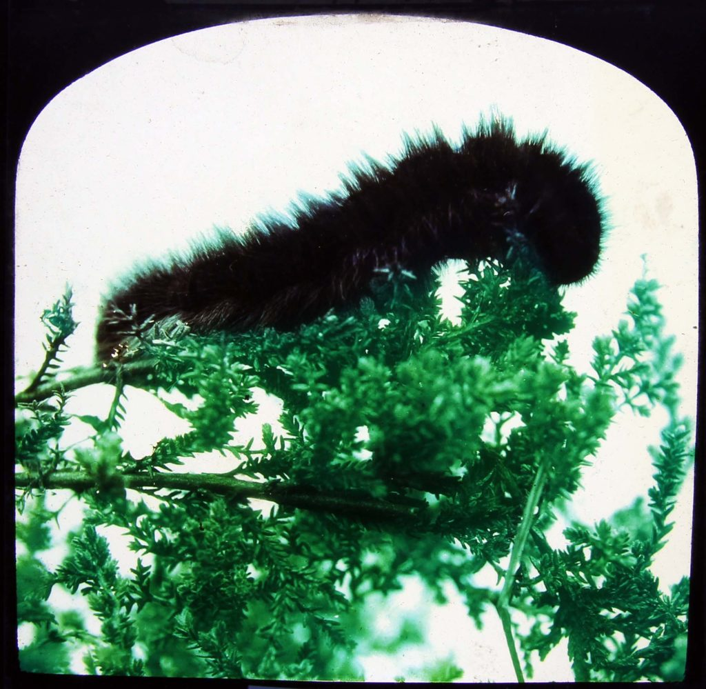 a photo of a large furry black caterpillar on a leaf