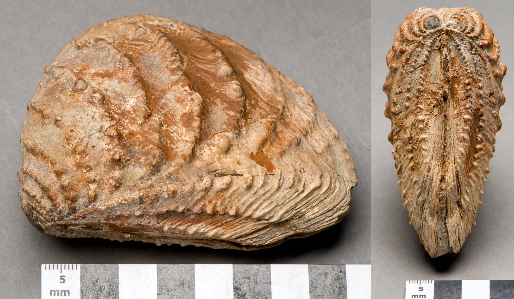 two views of a bivalve shell in the collection of Fairlynch Museum, Budleigh Salterton