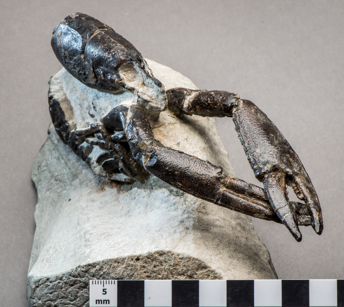 a photo of a lobster fossil embedded in a stone