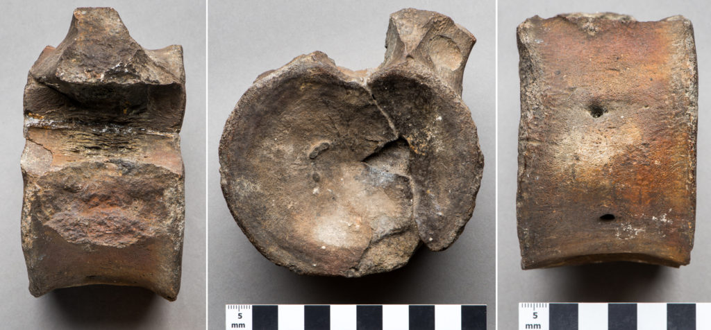 a composite photo showing three views of a fossilised vertebrae