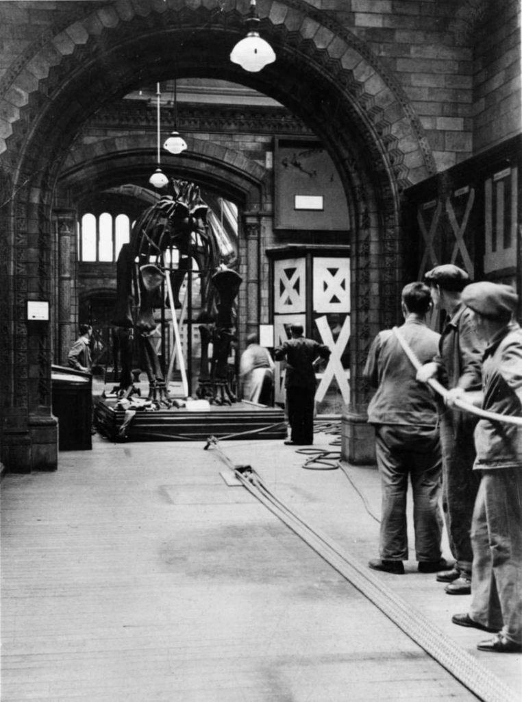 a photo of workmen hauling a huge skeleton into a museum exhibition space