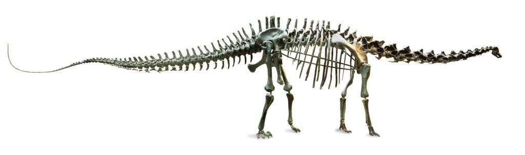 a side view of the diplodocus skeleton