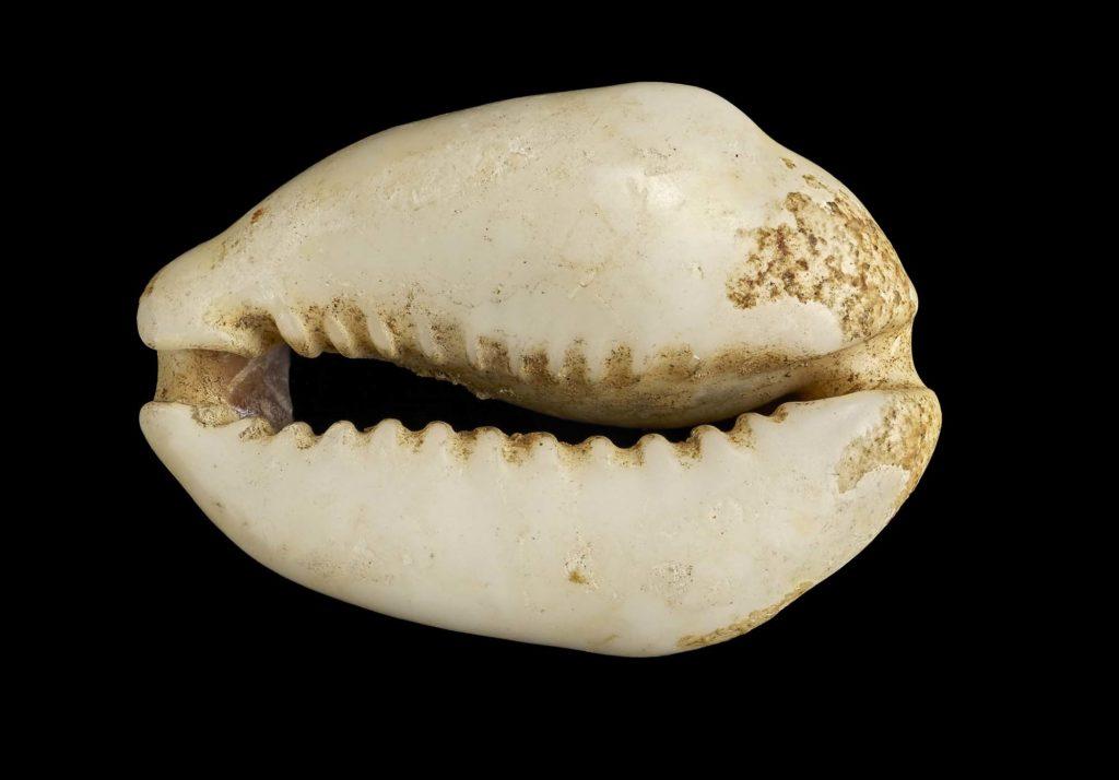 a photo of a small seashell