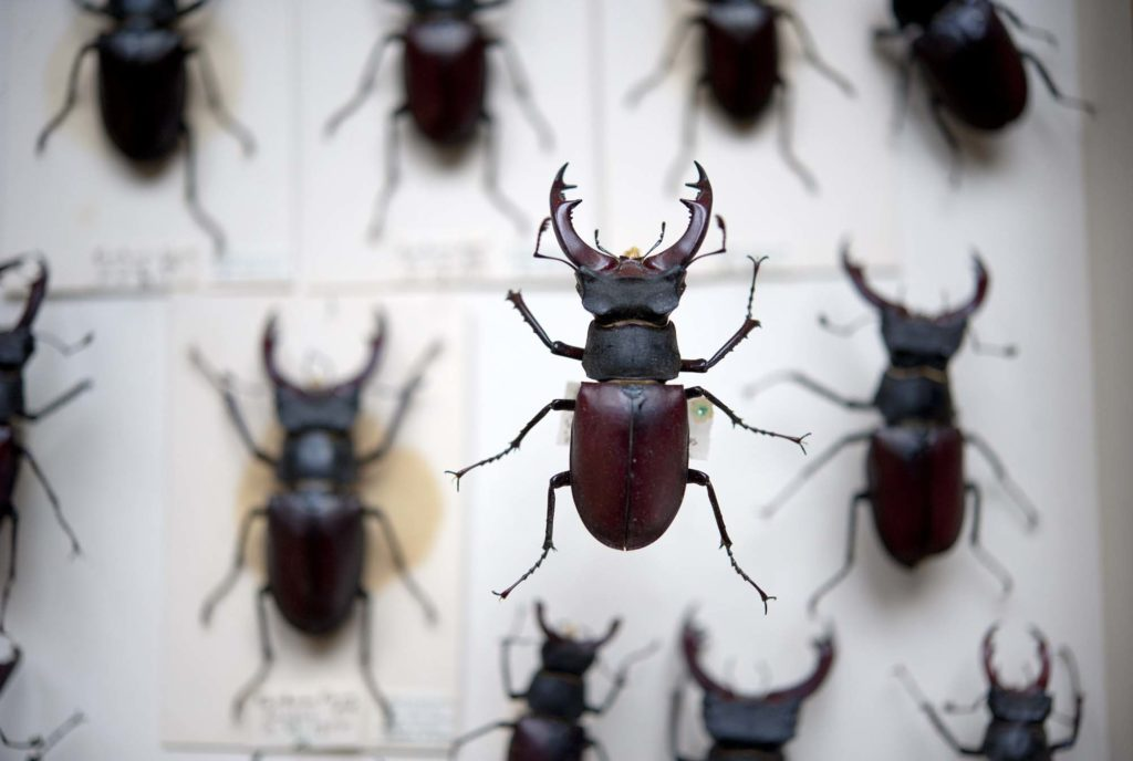 a close up of a flying stag beetle in a drawer of stag beetles