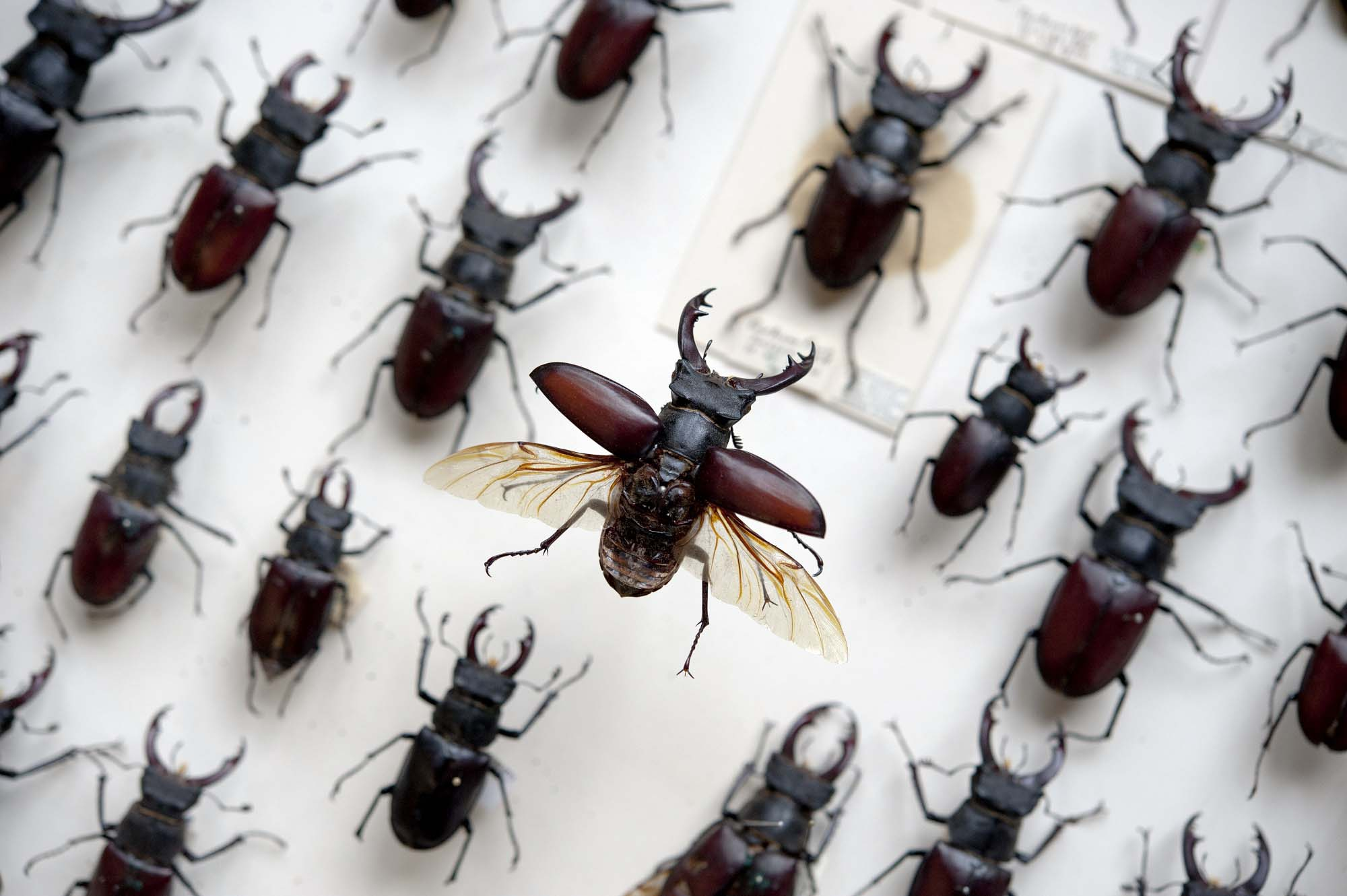 a photo of a case of stag beetles