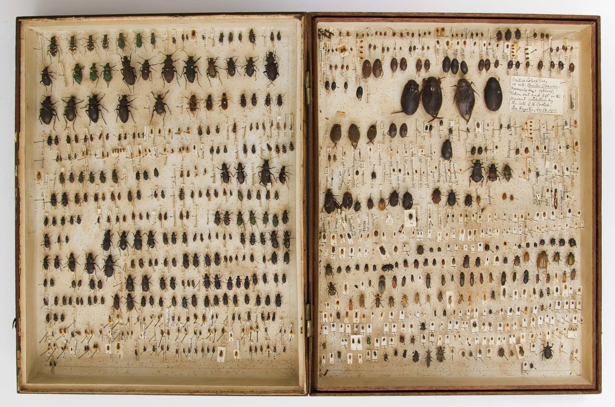 a photo showing a himged double sided display case filled with pinned beetle specimens