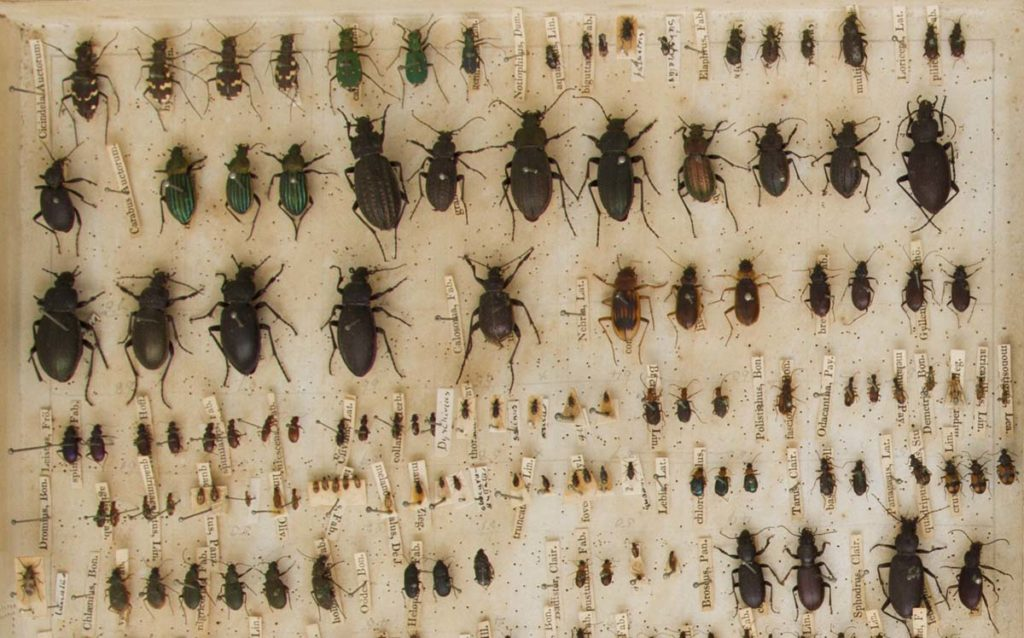 photo detail showing pinned beetles in box