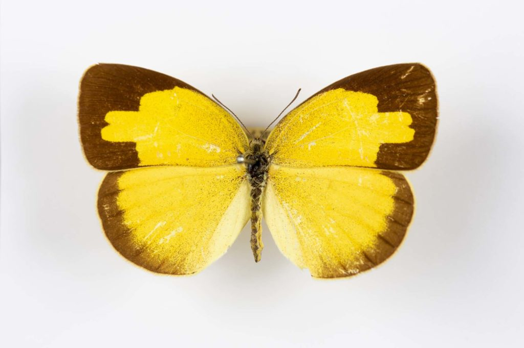 a photo of a pinned yellow butterfly specimen