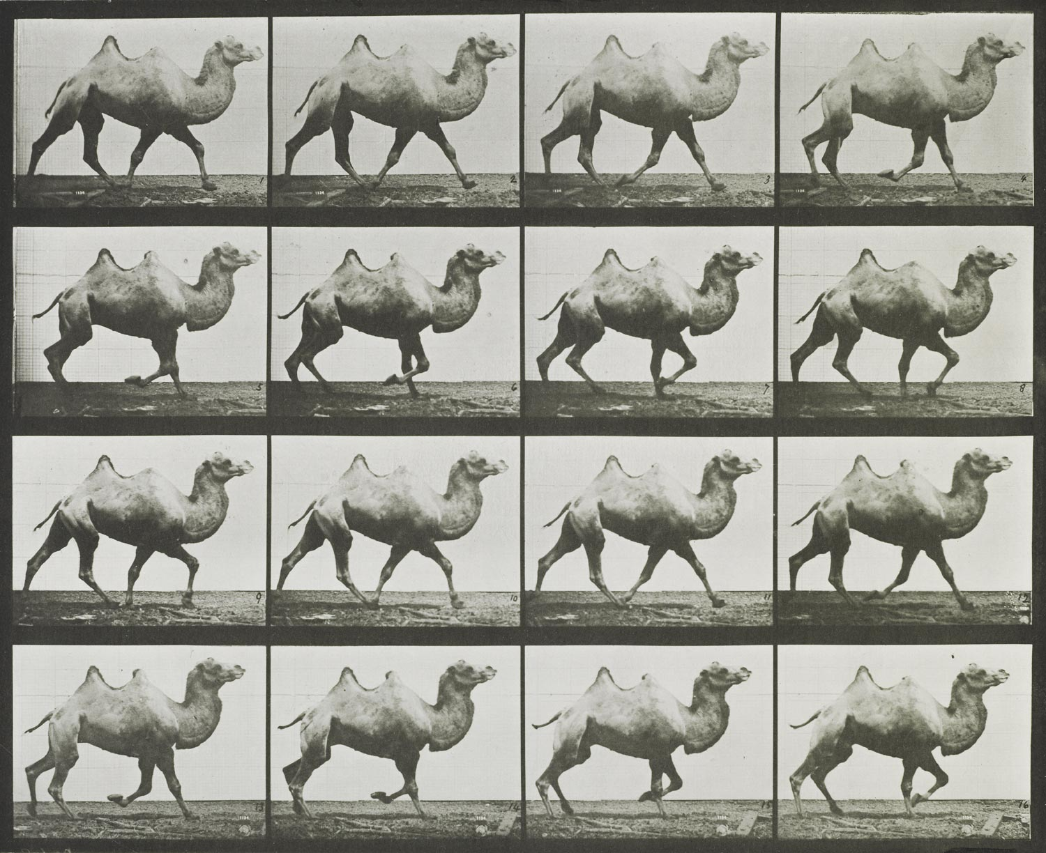 series of 16 images showing the movement of a camel while trotting