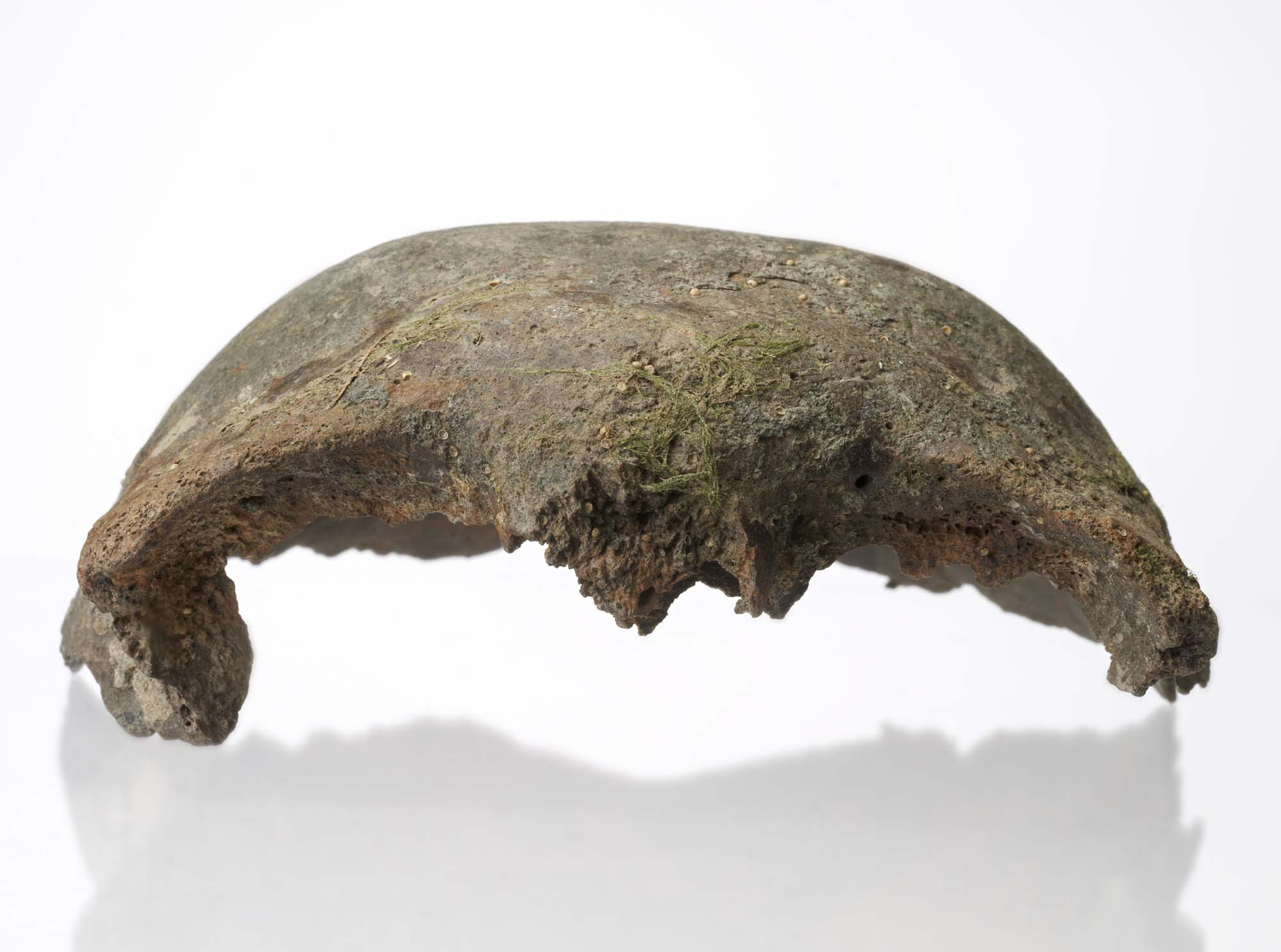 a photo of a skull fragment with seaweed or lichen residue near the front