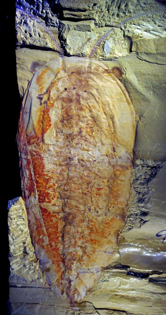 a photo of a flat arthopod fossil