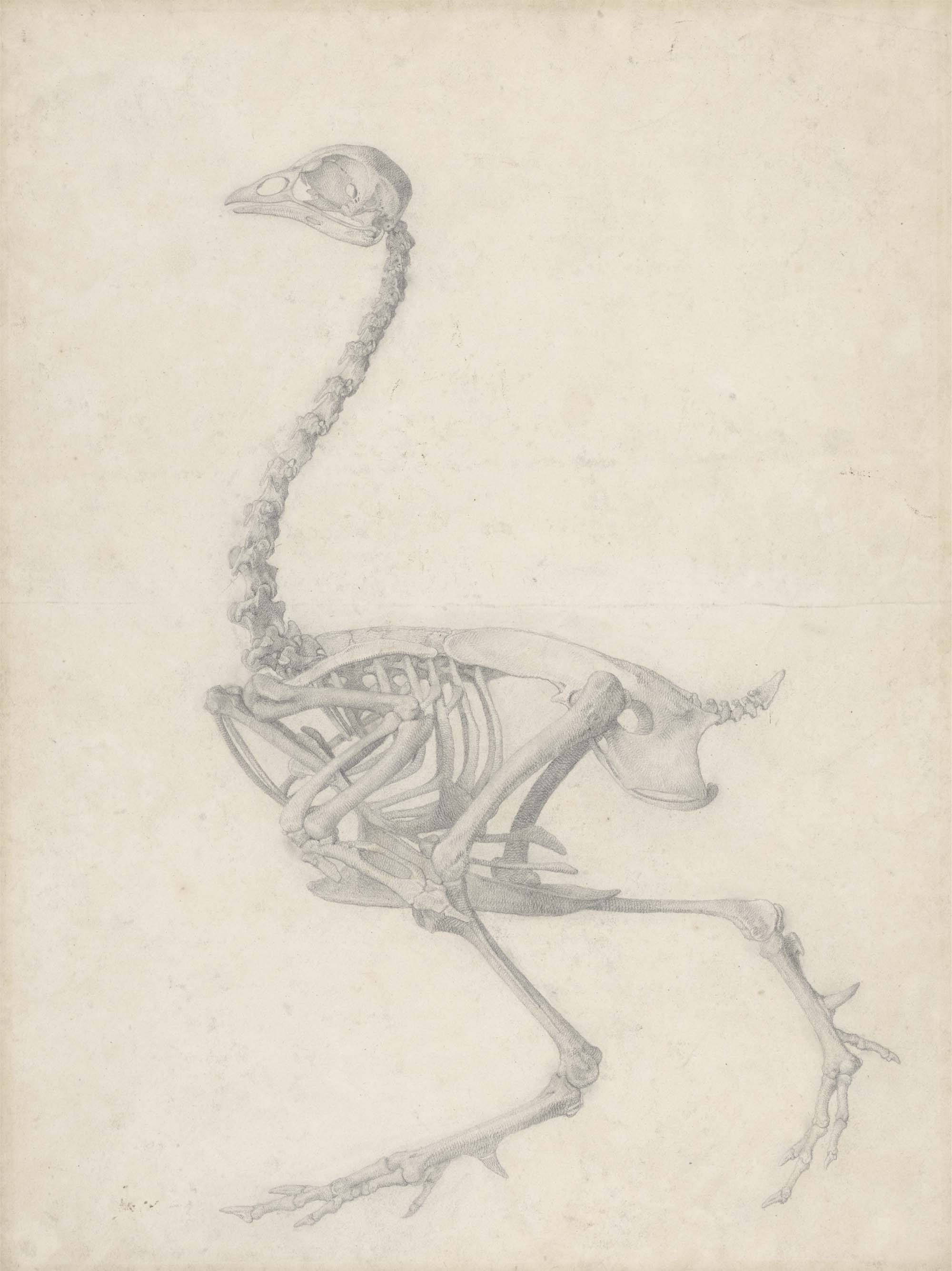 a side view drawing of the skeleton of a birdfowl